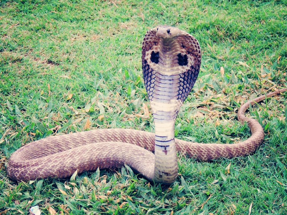 hua hin snakes cobra