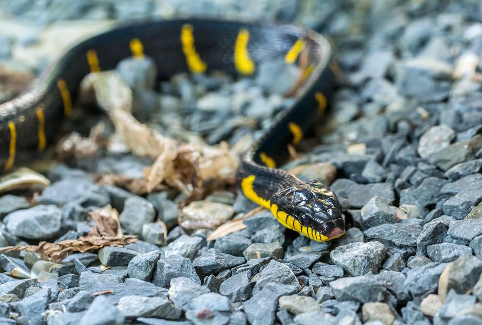 Hua Hin snakes krait