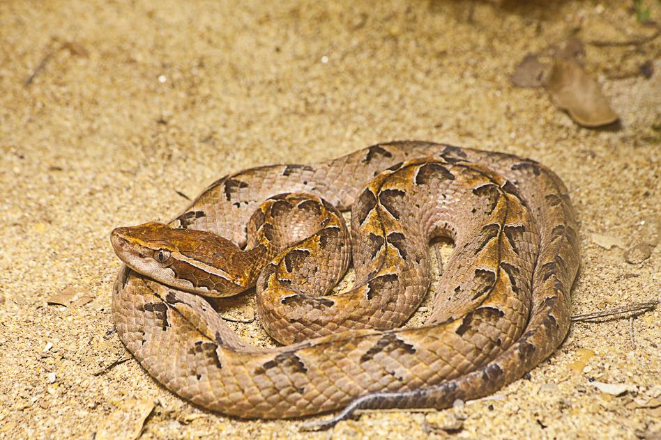 Hua Hin Snakes - Malayan Pit Viper Snake on sand