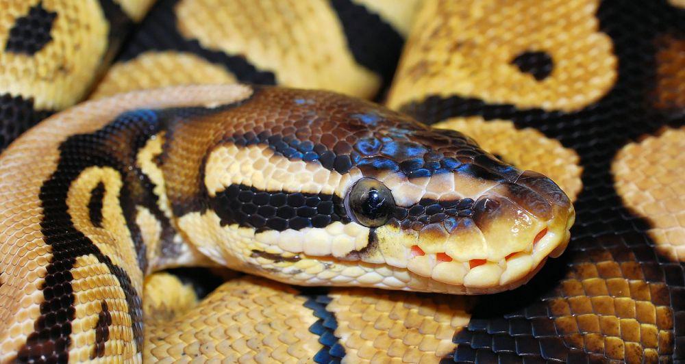 hua hin snakes python